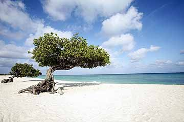 divi trees on eagle beach.jpg